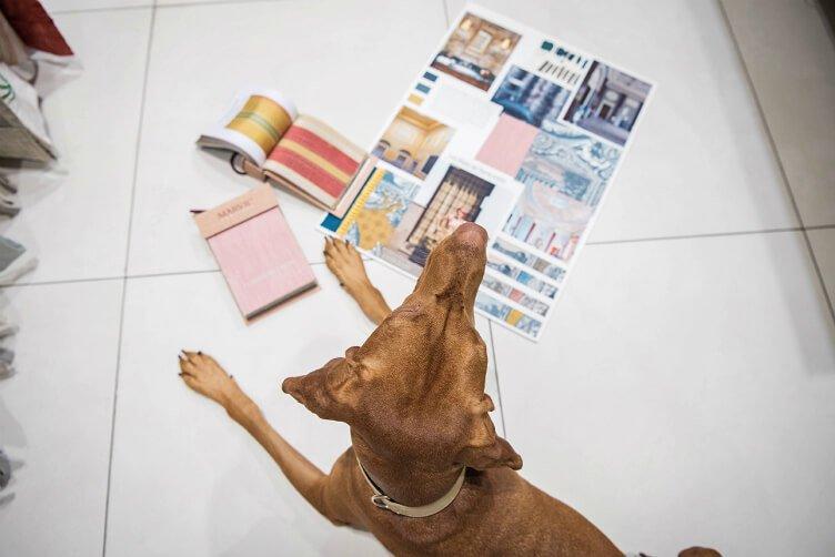 Joy the vizsla - interior designer dog