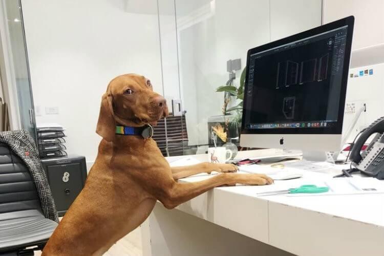 Interior design studio Temza ande their workplace pet Joy the Vizsla