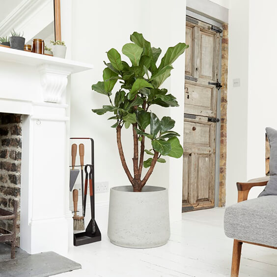 interior design for a light room with fireplace and large plant - Fiddle leaf fig