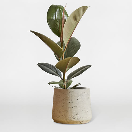 Interior-Design-Guides-to-plants-Rubber-plant