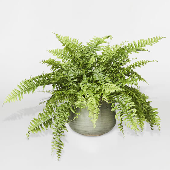 Interior-Design-Guides-to-plants-fern