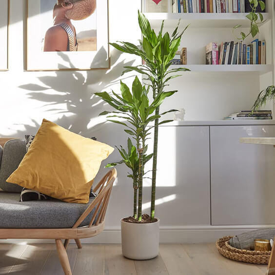 light interior design for a room with dracaena plant